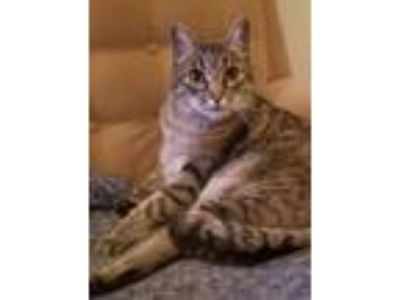 Adopt Daisy C a Domestic Shorthair (short coat) cat in Half Moon Bay