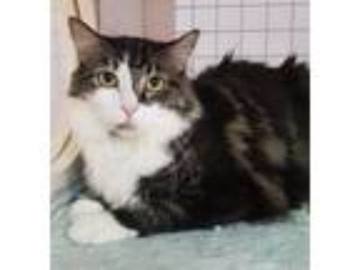Adopt Belle a Gray, Blue or Silver Tabby Domestic Mediumhair (medium coat) cat