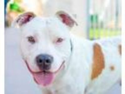 Adopt Benny a American Staffordshire Terrier, Mixed Breed