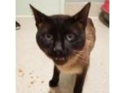 Adopt Josiah a Siamese, Domestic Short Hair