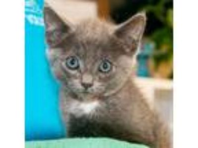 Adopt Irene a Gray or Blue Domestic Shorthair / Mixed (short coat) cat in