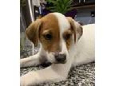 Adopt JR Gendry a Jack Russell Terrier / Beagle / Mixed dog in Chantilly