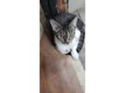 Adopt June a Brown Tabby American Shorthair (short coat) cat in Rogersville
