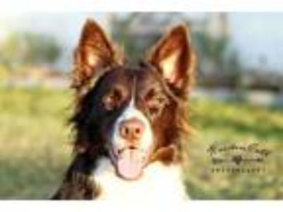Adopt Lola a Red/Golden/Orange/Chestnut - with White Border Collie / Mixed dog