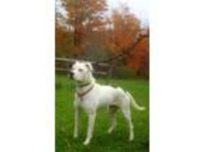 Adopt Zoey a White - with Black Pointer / American Staffordshire Terrier / Mixed
