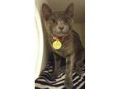 Adopt Mailyn a Gray or Blue Domestic Shorthair / Domestic Shorthair / Mixed cat