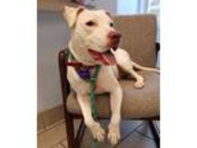 Adopt Ghost a Pit Bull Terrier / Mixed dog in Madison, NJ (25339218)