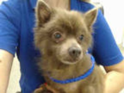 Adopt OPHELIA a Brown/Chocolate Pomeranian / Mixed dog in Doral, FL (25785622)