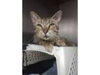 Adopt Amadala a Domestic Short Hair