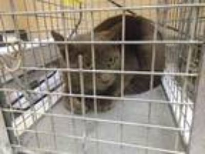 Adopt a Gray or Blue Domestic Shorthair / Mixed (short coat) cat in Fairfield