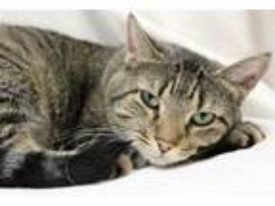 Adopt Boo a Tiger, Domestic Short Hair