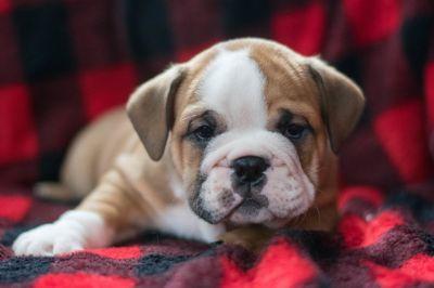 Bulldog PUPPY FOR SALE ADN-70240 - Teddy English Bull Dog Male