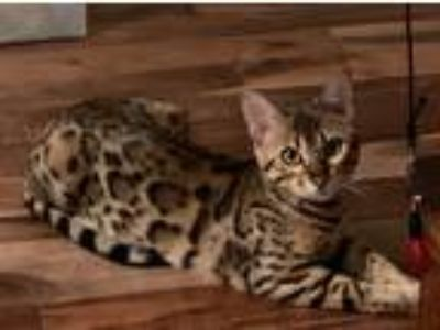 Registered Bengal Kittens for Sale Bengaltime