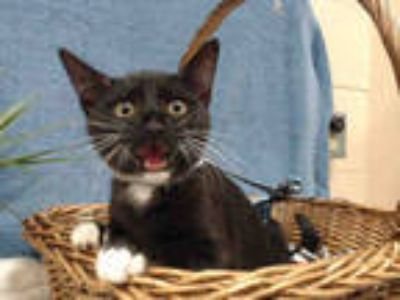Adopt GINGER a All Black Domestic Shorthair / Mixed (short coat) cat in Castaic