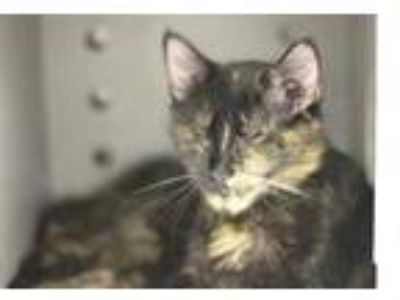 Adopt Boatlaunch a Gray or Blue Domestic Shorthair / Domestic Shorthair / Mixed