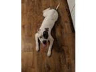 Adopt Roxxy a Gray/Blue/Silver/Salt & Pepper American Pit Bull Terrier / Mixed