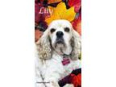 Adopt Lily a White - with Tan, Yellow or Fawn Cocker Spaniel / Mixed dog in