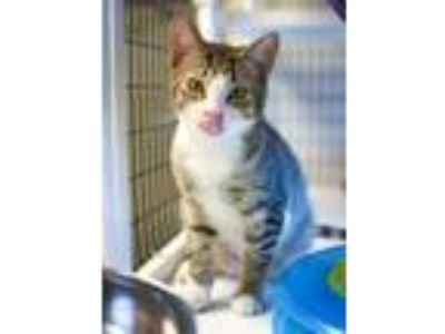 Adopt Harriett (Emma Kitten 3) a Domestic Short Hair