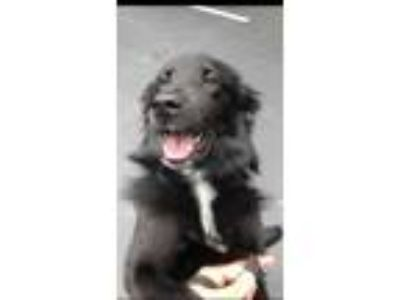 Adopt Justin a Flat-Coated Retriever, Australian Shepherd