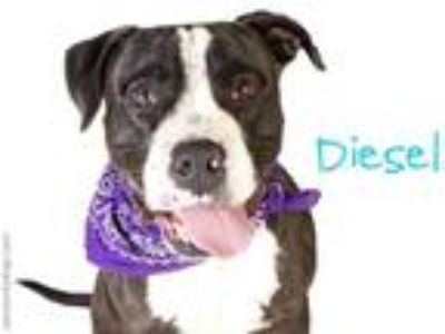 Adopt DIESEL a Black - with White American Staffordshire Terrier / Mixed dog in