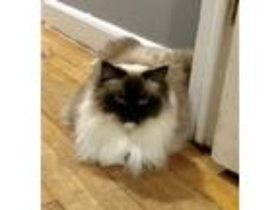 Adopt Jasmine a Cream or Ivory (Mostly) Ragdoll cat in Fairfield, CT (25505192)