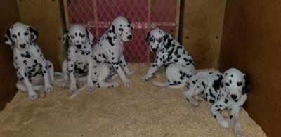 Dalmatian PUPPY FOR SALE ADN-101935 - Dalmatian Puppies