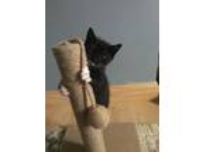 Adopt Paisley, Parker, Patches and Phil a Domestic Short Hair