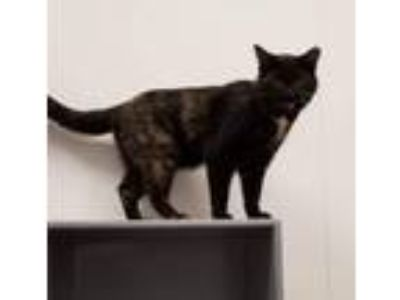 Adopt Hami & Sami a Domestic Short Hair