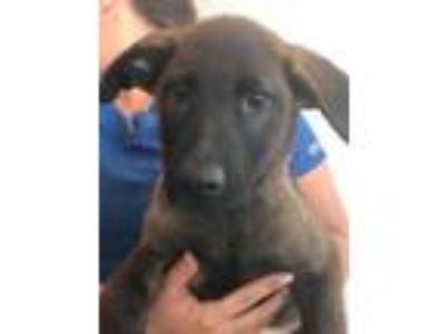 Adopt Grey Wind a Brown/Chocolate - with Black German Shepherd Dog / Belgian