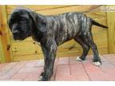 AKC registered female English Mastiff puppy-Nikki