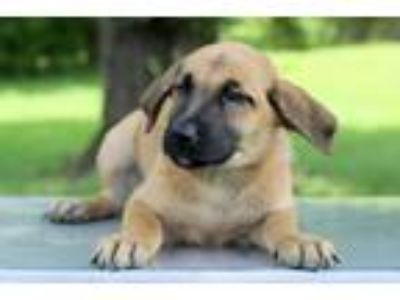 Adopt Marissa a Tan/Yellow/Fawn - with Black Shepherd (Unknown Type) / Mixed dog
