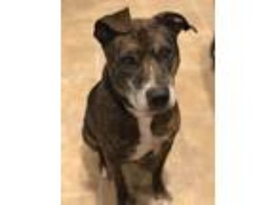 Adopt Tyson a Brindle American Pit Bull Terrier / Australian Cattle Dog / Mixed