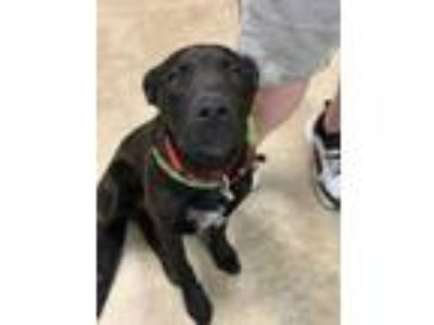 Adopt Kirby a Black Labrador Retriever / Australian Cattle Dog / Mixed dog in
