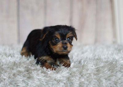 Rosie the Yorkshire Terrier