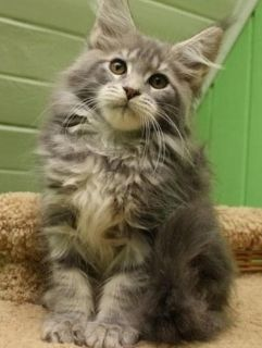 Deserving Maine coon Kittens