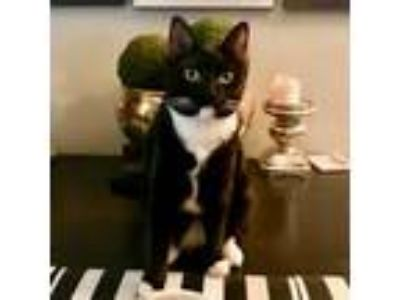 Adopt Kitten attacks DINOSAUR see video! (Psst it's Lulu lap kitten!) a Domestic