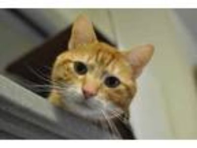 Adopt Jefferson a Orange or Red Domestic Shorthair / Domestic Shorthair / Mixed
