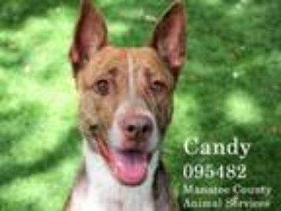 Adopt CANDY a German Shepherd Dog, Mastiff