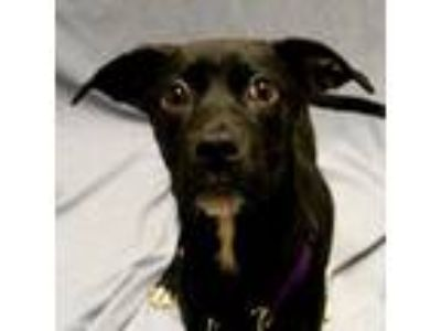 Adopt Becky a Black Labrador Retriever / Mixed dog in Saukville, WI (25909334)