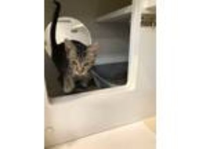 Adopt Mitsy a Brown Tabby Domestic Shorthair (short coat) cat in valhalla