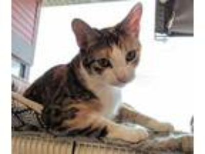 Adopt Emmie a Orange or Red Domestic Shorthair / Domestic Shorthair / Mixed cat