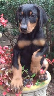 Doberman Pinscher Puppys AKC registered