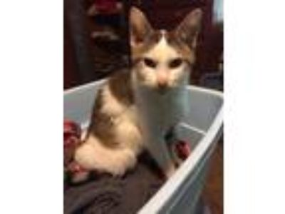 Adopt Piper a White (Mostly) Domestic Shorthair cat in Dallas, TX (25107454)