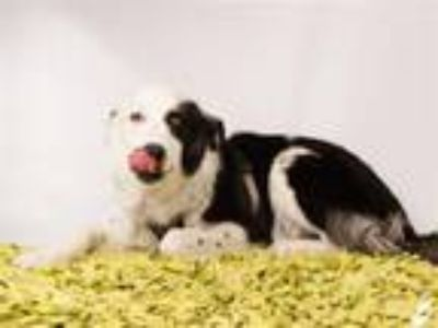 Adopt TEXAS a Border Collie, Mixed Breed