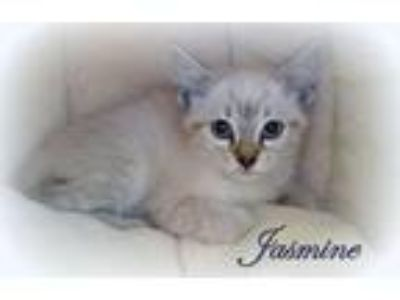 Top Five Siamese Kittens For Sale Elizabethtown Pa - Circus