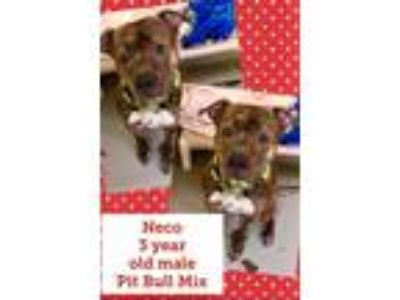 Adopt Neco a Pit Bull Terrier / Mixed dog in Blountville, TN (24499990)