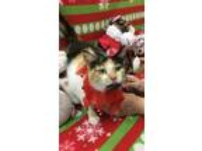 Adopt Christmas a Domestic Short Hair