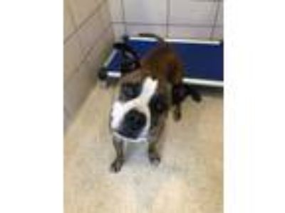 Adopt 41734044 a Brown/Chocolate Boxer / Mixed dog in Land O'Lakes
