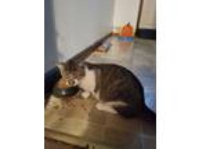 Adopt Nala a Calico or Dilute Calico Domestic Shorthair / Mixed cat in