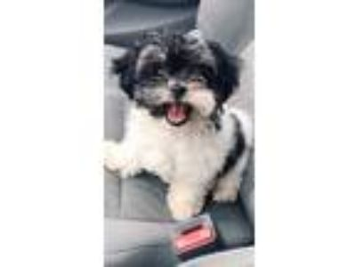 Adopt Osita a Black - with White Shih Tzu / Poodle (Toy or Tea Cup) dog in